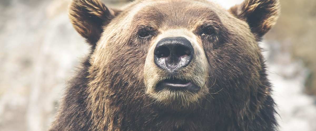 bull market vs bear market definition represented by a Grizzly